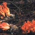 Ramaria araiospora var araiiospora
