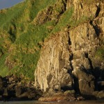 Colonial seabird nests on cliff