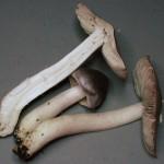 Tricholoma port