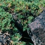 Juniper horizontalis closeup