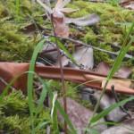 Calypso bulbosa var. occidentalis  (fairy slipper)