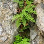 3 fern species from top: Polypodium glycyrrhiza, Woodsia scopulina, Pentagramma triangularis