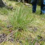 Dantonia californica, native bunch grass