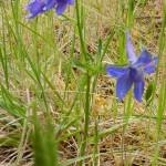 Delphinium menziesii subsp. menziesii