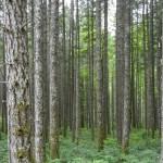 Second growrth Douglas Fir forest
