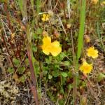 Monkey Flower, Linularia guttatus  and Linularia sookensis