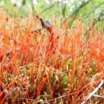 red moss?