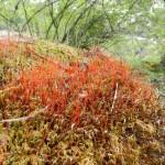 red moss?  habitat