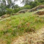 Mahonia repens , Oregon grape habitat