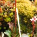 Saxifraga rufidula