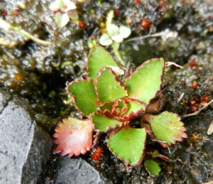 Saxifrage rufidula rosette