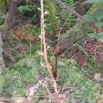 Orobache pinorum- dried stalk,
