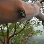 Arbutus growing horizontally