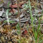 broom rape on Lomatium