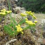 Lomatium grayii