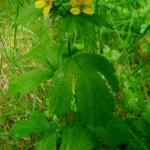 Geum macrophyllum