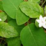 Trientalis borealis ssp. latifolia  (broad-leaved starflower)