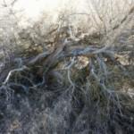 Sage Brush woody stems.