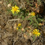 Narrow-leafed aster