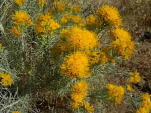 Rabbit brush (Ericameria nauseosa)