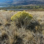 Rabbit brush and view to marsh in the west