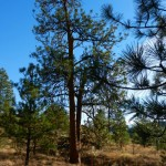 The largest Ponderosa Pine on the reserve at 95 cm DBH.