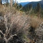 Snowy buckwheat in bloom.