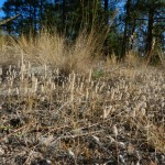 (3) Indian wheat ( Plantago patagonia)