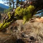 Bright green wolf lichen on a fallen pine.