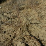 Ground made spongy by pocket gopher tunnels.