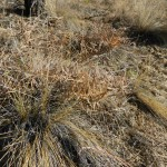 Bluebunch wheatgrass. (Pseudoroegneria spicata )