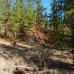 The dried up leaves of Saskatoon (Amelanchier alnifolia).