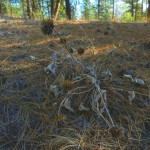 The remains of an  Arrow leafed Balsamroot (Balsamorhiza sagittata). This is a common plant in the reserve.