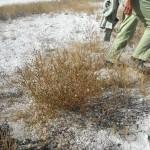 Salt tolerant plant on the Lake margin