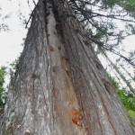 Cedar now a wildlife tree.