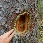 Pileated woodpecker feeding hole.