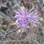 Flower of invasive Knapweed.