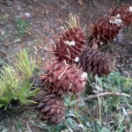 Cones of the old growth larch trees in the reserve.