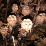 Monotropa uniflora–Indian Pipe seed pods.
