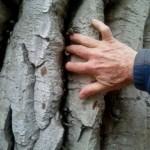 The bark of an old-growtf Douglas FIr