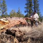 Garry and fallen pine.