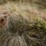 Bluebunch wheatgrass.