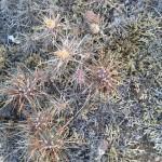 Cactus,(Opuntia sp.)