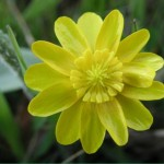 California buttercup, (Ranunculus californicus)
