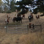 Cattle from neighbouring ranches pose a threat when there are poor fences.