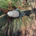 Clark's Nutcracker, Nucifraga columbiana.  Niran took this picture on our way to the reserve. These birds eat the seeds of the Ponderosa Pine.
