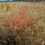 Russian Thistle ( invasive) (Salsola tragus)