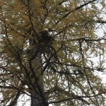 Eagle nest at the top of a larch tree.