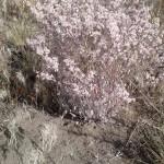 Snow buckwheat (Erigonum niveum)