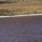 Duck landing on lake.